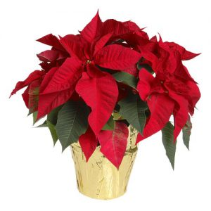 poinsettia-red