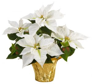poinsettia-white